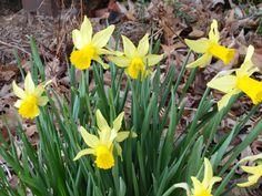 Spring has sprung. Mini daffs.