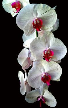 Hawaii Orchid. I love how the black backdrop makes the flowers really pop.