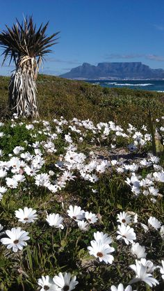Table Mountain in the Springtime  http://www.travelandtransitions.com/destinations/destination-advice/africa/cape-town-travel-things-todo/