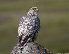 The Gyrfalcon is the largest of all falcon species and hunt Dovekies and other birds in the ice off Greenland.