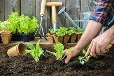 Sadenie mrkvy, hrachu, fazuľe, cibule či kalerábu – kedy a ako Growing Bush Beans, Growing Carrots, Growing Vegetables, Easy Plants To Grow, Small Shrubs, Crop Rotation, Hardy Perennials, Colorful Plants, Grow Your Own Food