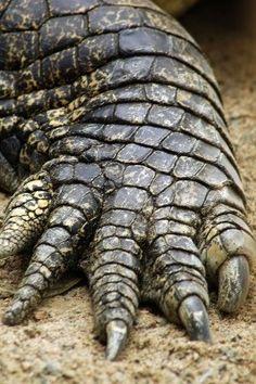 Van wie (krokodil)