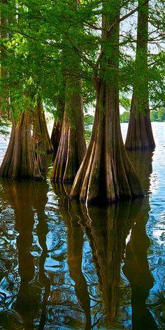 Cypress Trees in Lake Providence, Louisiana
