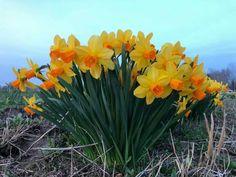 Daffodil Flowers, Daffodils, Plants, Plant, Planets