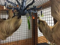 Octopus clothing drying rack (IKEA) used as a sloth food hanger. Great way to keep the chipmunks and other pests from eating food during the warm season!