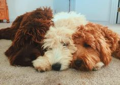 Puppies!!! #labradoodle #goldendoodle