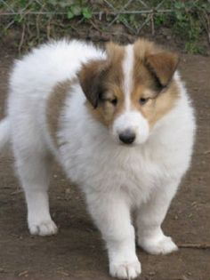 And if you are going to have white collies, you have to have white collie puppies. I want a sable faced CHW rough collie someday! I already know what I'd name one: if it's a girl, Fubuki and it's a boy, Shirakumo or Sesshomaru! :D