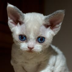 Devon Rex Kitten | Being a pointed cat, this one will retain her blue eyes.--This one almost doesn't look real.