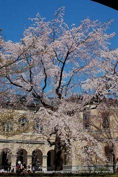 府庁の枝垂れ – 京都cf!