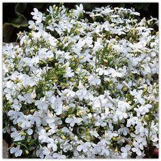 100% true lobelia seeds Rare indoor flower seeds in Bonsai, Chlorophytum flower seeds for Perennial Home Garden Plants 100pcs/bag