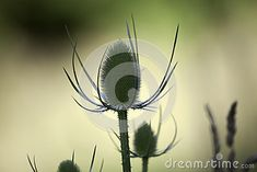 Plants and Nature - A summer thistle on a clean, out of focus natural background