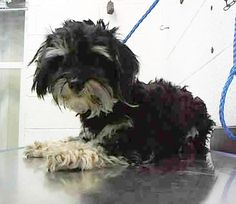 *** 1 YR Old PUPPY ALERT!!! *** ‒ My Name is LULU ( #A1696209 ) I am a Male, Black Miniature Poodle mix. The shelter thinks I am about 1 yrr old. I have been at the shelter since May 01, 2015. Miami-Dade Animal Services ‒ (305) 884-1101 PLS HELP SHARE/SAVE THIS PRECIOUS BABY FROM THIS *HIGH KILL* SHELTER. https://www.facebook.com/OPCA.Shelter.Network.Alliance/photos/pb.481296865284684.-2207520000.1430652732./816779468403087/?type=3&theater