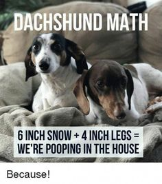 """Acquire wonderful tips on """"Dachshund dogs"""". They are available for you on our website. Dachshund Breed, Dachshund Funny, Dapple Dachshund, Dachshund Love, Funny Dogs, Funny Animals, Cute Animals, Dachshund Quotes, Animal Memes"""