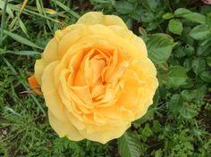 My favourite flower from my garden! July 2014