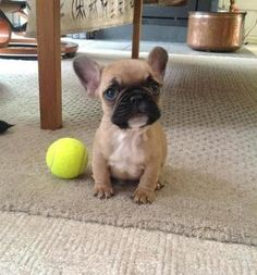 ❤ What a precious Frenchie Pup - OMG ❤ Posted on DogTV