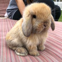 Rabbit Care Advice Treats Toys Food Hutch bunny Breeds Pets Read more on our blog!!!  #rabbits #bunny #bunnies #pets #cute Baby Bunnies, Cute Bunny, Bunny Rabbit, Guinea Pig Care, Guinea Pigs, Holland Lop Bunnies, Bunny Care, Animals For Kids, Baby Animals