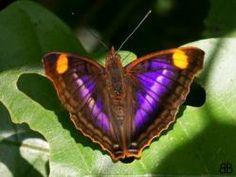 Mariposa Doxocopa Pavon                  América Central