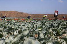 Israeli Fields Enter Biblical Shmita - Fallow Year 9.29.14 Nearly half of Israeli farmers obey the biblical commandment of shmita, but many circumvent it, fearing financial loss