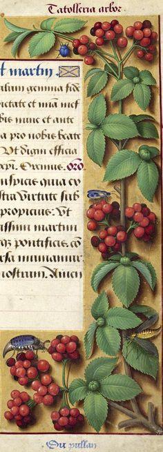 """Du pullan - Catolleria arbor (le dessin de la figure laisse à désirer, mais il est probable qu'il s'agit ici des fleurs de l'alisier, Sorbus aria Crantz, ou, comme le croyait Jussieu, de celles du """"Buisson ardent"""" (Cotoneaster pyracantha Spach)...) -- Grandes Heures d'Anne de Bretagne, BNF, Ms Latin 9474, 1503-1508, f°190r"""