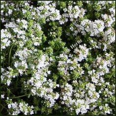 Thyme, White (Thymus serpyllum albus)