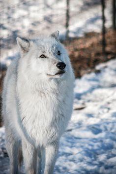 Portrait of a wolf   by instinctforfilm