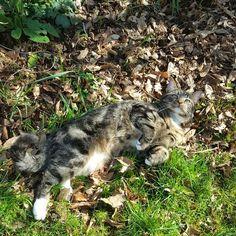 Spring has come! #Bonya #Meow #meowpagecats #allaboutcats #tabbycatsofinstagram #gatto #bengalcross #mainecooncross #bengalmaincoon #cats #catstagram #catsagramcats #catinthegarden #gatto #mycat #tabby #catslovers #tabbycats #whenyouhaveacat #tabbycat #tabbykitten #kittensofinstagram #kittenstagram #kitty #котик #кот