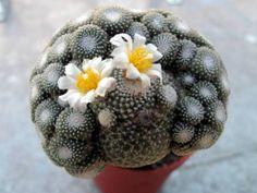 Blossfeldia liliputiana (Blossfeldia liliputana) → Plant characteristics and more photos at: http://www.worldofsucculents.com/?p=5819