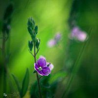 spring beauty queen by ildiko-neer