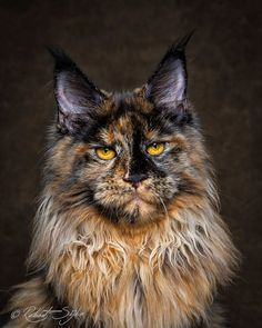maine-coon-cat-photography-robert-sijka-61-57ad8f2679730__880 See more at - Catsincare.com