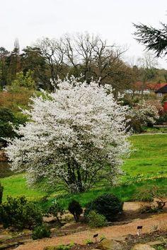 Amelanchier lamarckii multi stems #flowers http://www.barchampro.co.uk/trees-for-sale/buy-june-berry-amelanchier-lamarckii