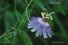 US Wildflower - Purple Passionflower, Maypop - Passiflora incarnata Purple Passion Flower, Calming Tea, Yellow Fruit, Soli Deo Gloria, Parts Of A Flower, Zone 5, Trees And Shrubs, Native Plants, Botany