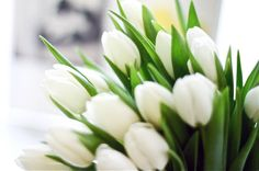 White tulips are perfection Take Off Your Shoes, White Tulips, Lily Of The Valley, Humble Abode, Fresh Flowers, Flower Power, Life Is Good, Succulents, Cool Designs