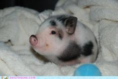 The piglet is just so round + smiley.