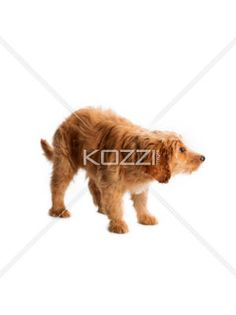 puppy looking scared - A puppy looking scared standing on a white background.