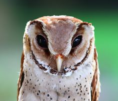 Oriental Bay Owl (Phodilus badius) …is a species of barn owl endemic to South and Southeastern Asia. Like most owls this species is nocturnal and hunts at night for small birds, mammals, reptiles and...