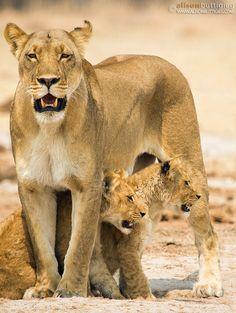 The Bodyguard – Nxai Pan, Botswana.  Photographed by Alison Buttigieg
