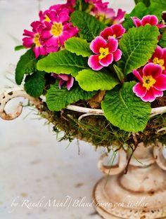 signs of spring ... primrose blooms