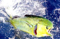 An overview of how to catch Dorado (Mahi-mahi) with bait and lures. Tips for fishing for Dorado (Mahi-mahi or Dolphinfish) Salt Water Fish, Salt And Water, Sport Fishing, Fly Fishing, Mahi Mahi, Saltwater Fishing, Water Sports, Dolphins, Florida Keys