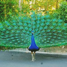 "The peacock, largest of the pheasants, is native to Sri Lanka and India. It is often the male of the species that is shown in photographs, showing the beautiful plumage. Hence the simile ""proud as a peacock"". The female (pea hen) lacks the beautiful ornamental feathers or the bright coloring."