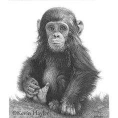 Wildlife Art Signed Print Pencil Drawing Sketch Ape Monkey Baby Chimp Chimpanzee