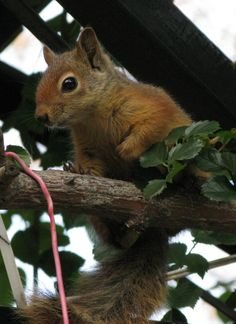 Syrian Squirrel (up close)