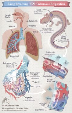 Gas exchange in humans gaseous exchange things to wear chart of respiration human vs lungless salamander alveoli bronchioles lungs ccuart Choice Image