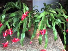 Christmas Cactus Care and Blooming
