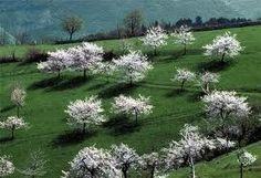 Marostica, i ciliegi - blooming cherry-trees Italy