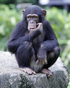 A young chimpanzee sucking his thumb