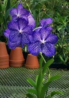 Do you want to grow Vanda orchids in pots? If yes then you must know that secret of successful growing of Vanda orchids in pot lies in the care of its roots. I have also grown Vanda orchids in pots… Orchid Plants, Orchid Flowers, Growing Orchids, Purple Garden, Blue Orchids, Blooming Plants, Orchidaceae, All Things Purple, Flower Images