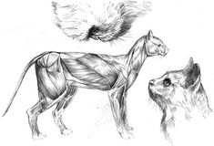 pencil The cat's anatomy, muscles Grey Cats, Skeleton Muscles, Cat Skeleton, Cat Anatomy, Cat Reference, Cat Aesthetic, Forest Cat, Cat Sleeping, Gatos