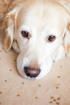 "thenewetd: "" golden retriever - - gorzka - From The Dog Blog """