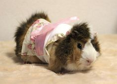 Long Haired Guinea Pig – Guinea pigs, which are part of the rodent family, have become beloved pets in many western households. These cute animals ae often referred to as cavy's, which comes … Guinea Pig Costumes, Guinea Pig Clothes, Baby Animals, Cute Animals, Animal Dress Up, Japanese Store, Baby Guinea Pigs, Cute Piggies, Pet Fashion