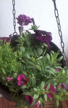 Popular and TIMLESS FLOWERS Garden&Home. Petynit. Lobeliat.  Like. USE. U?